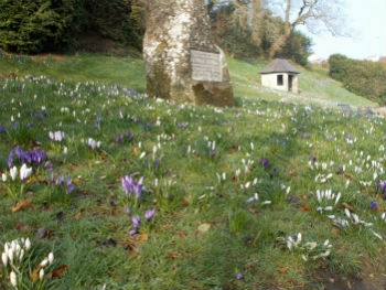 Early Morning Crocus Carpet - March 2015